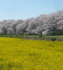 桜と菜の花②
