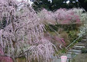 龍尾神社の梅園