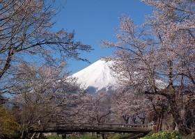 新名庄川の桜
