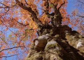 巨木(紅葉)