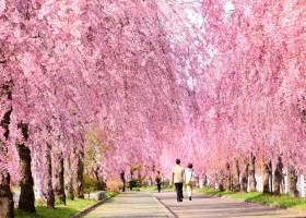 日中線記念自転車歩行者道のしだれ桜②