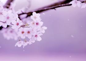 桜サクラ_AC