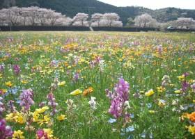 松崎_田んぼの花畑