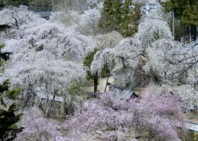 秩父_清雲寺の桜①